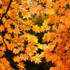 10369343 red yellow fall maple leafs illuminated by sun natural background Stock Photo